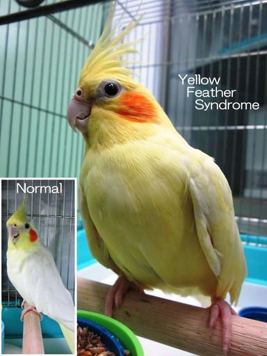 Yellow Feather Syndrome(YFS・わいえふえす・いえろーふぇざーしんどろーむ)