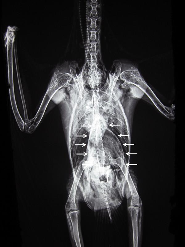 タイハクオウムに見られた腺胃拡張
