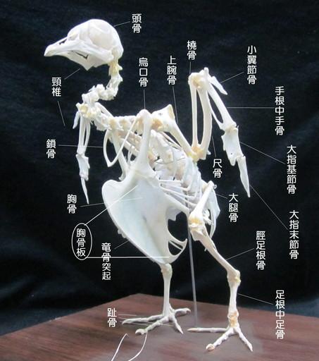 胸骨板(きょうこつばん)