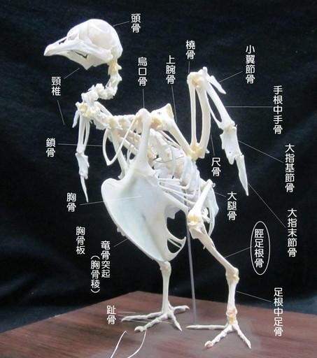 頚足根骨(けいそっこんこつ)