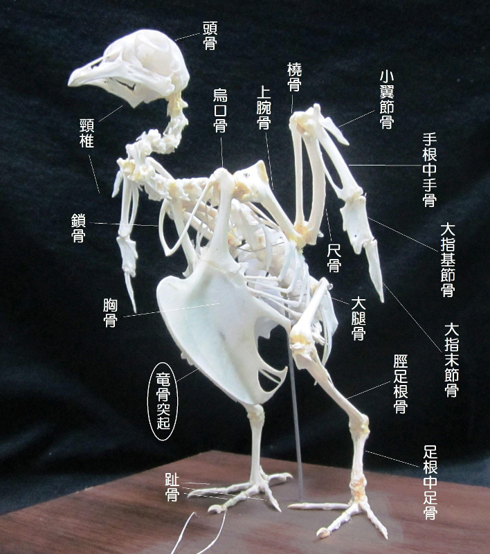 竜骨突起(りゅうこつとっき)