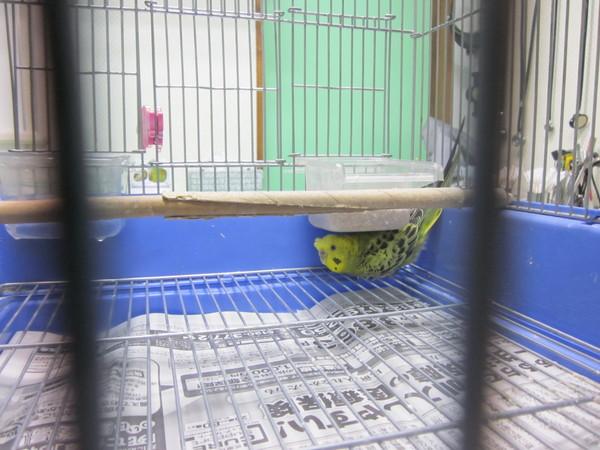 巣籠り行動