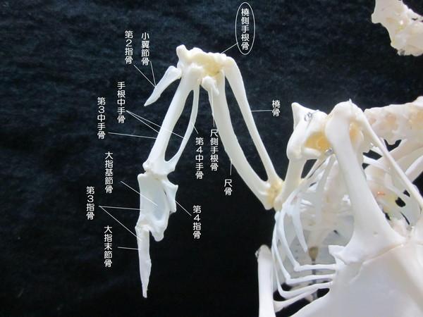 橈側手根骨(とうそくしゅこんこつ)