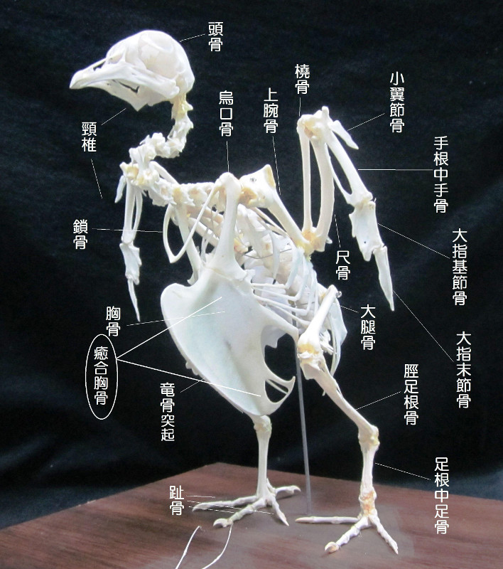 癒合胸骨(ゆごうきょうこつ)