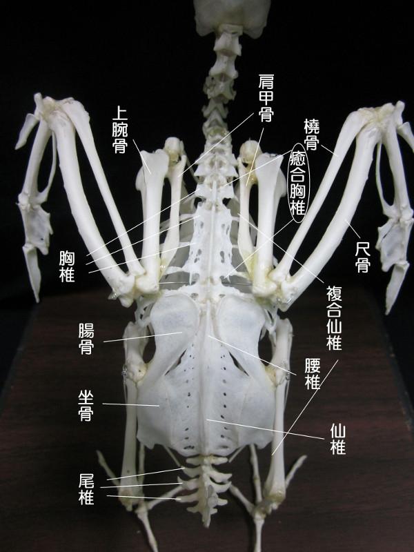 癒合胸椎(ゆごうきょうつい)