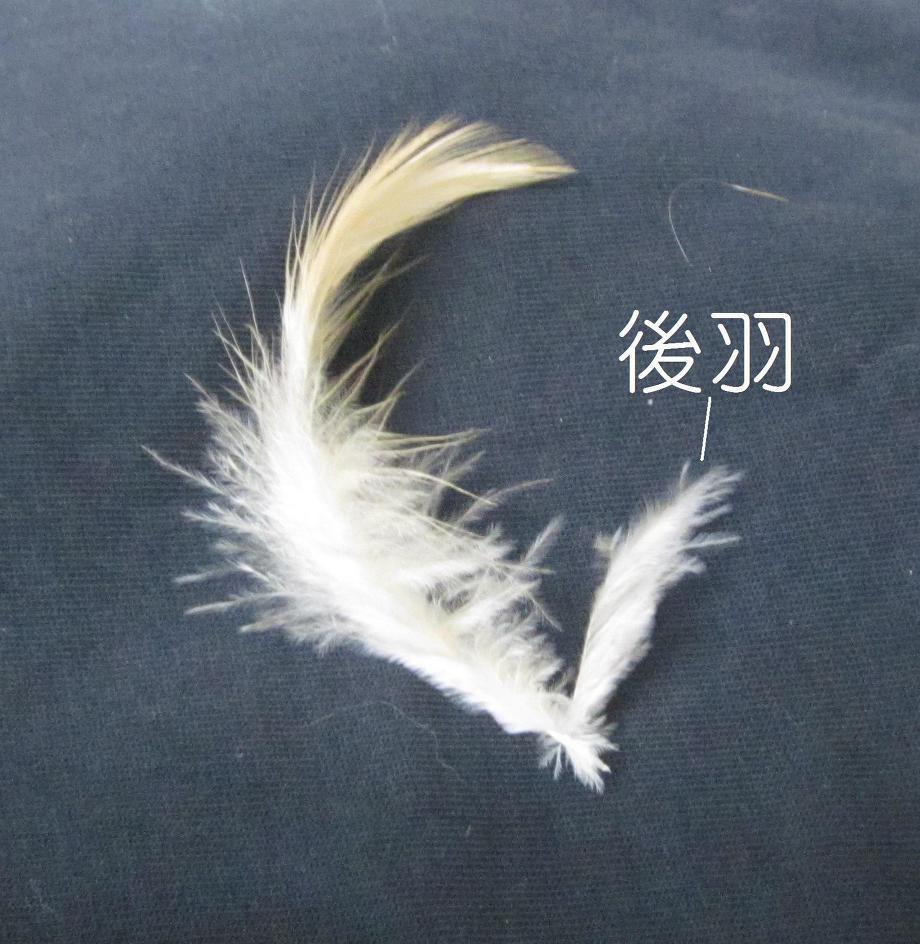 鳥さんの羽 羽毛の種類 後羽