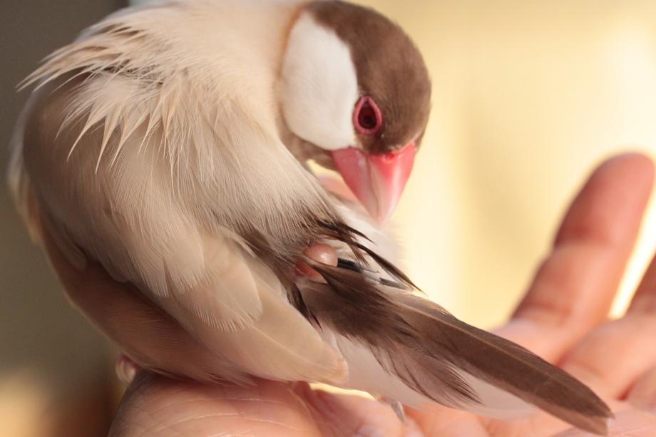文鳥の尾腺・尾脂腺