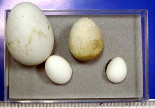 様々な鳥さんの卵たち!